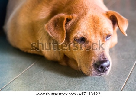 Closeup and selective focus on sleepy dog face resting on floor