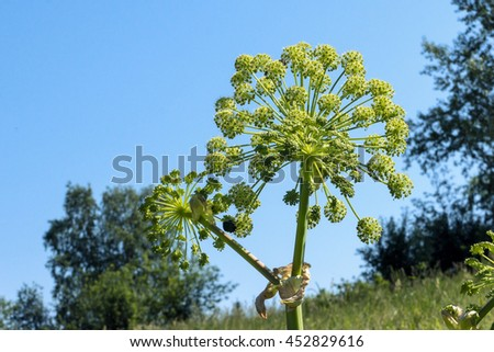 Closeup angelica (wild celery) plant in nature. Summer outdoor scene. Blooming herb - stock photo