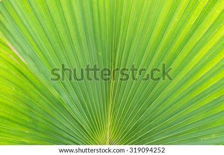 Closeup at green leaf of palm tree background