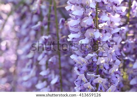 closeup background of wisteria tree in japan