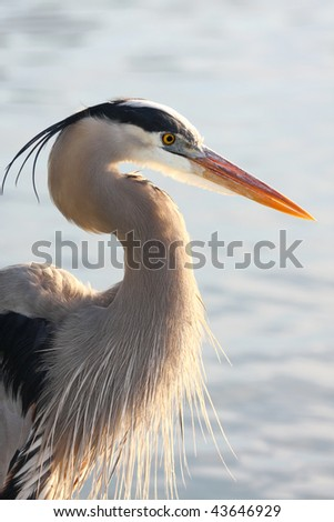 Closeup Backlit Great Blue Heron - stock photo