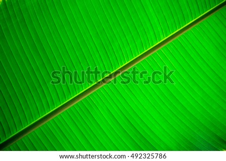 closeup banana leaf texture for background
