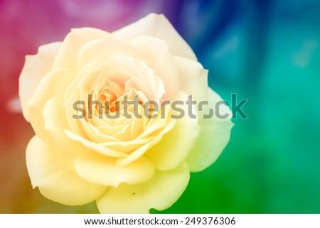Closeup beautiful macro yellow rose in garden - stock photo