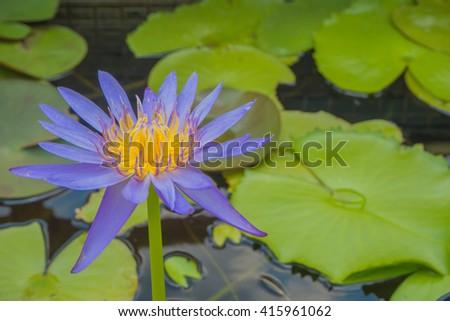 Closeup beautiful purple lotus yellow pollen with bee - stock photo