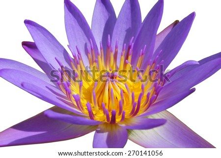 closeup beautiful purple water lily pollen in the garden isolated on white background - stock photo