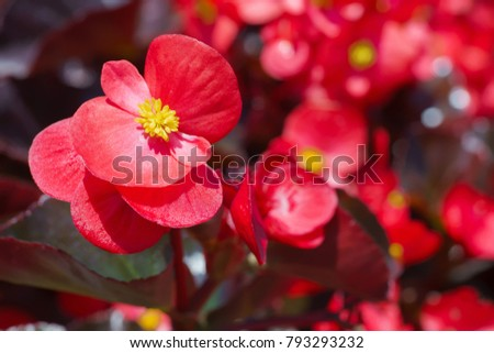 Closeup beautiful red begonia is blooming with blurred background.