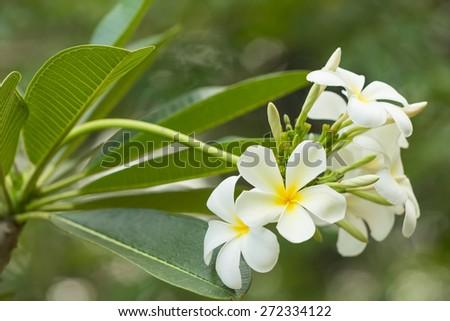 closeup beautiful white plumeria flower with green leaf background - stock photo
