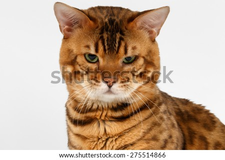 Closeup Bengal Cat with green eyes on White background - stock photo
