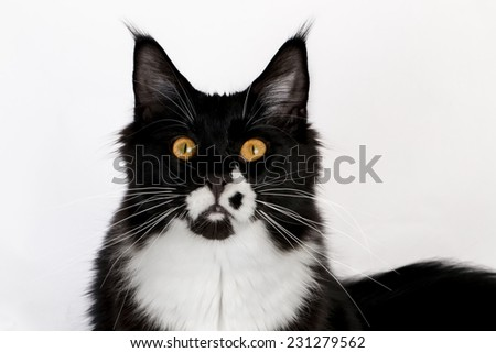 closeup black and white Maine Coon - stock photo