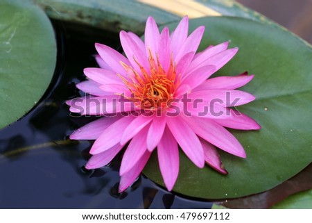 Closeup blooming pink waterlily in the pond