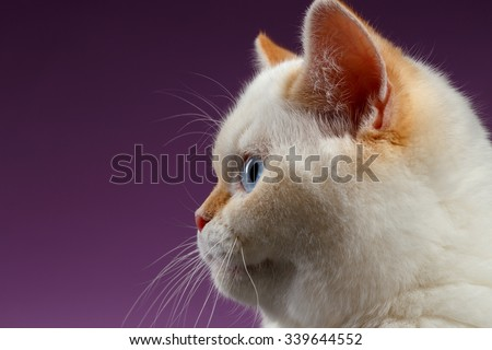 Closeup Blue Eyed British Kitten in Profile view on purple Background - stock photo