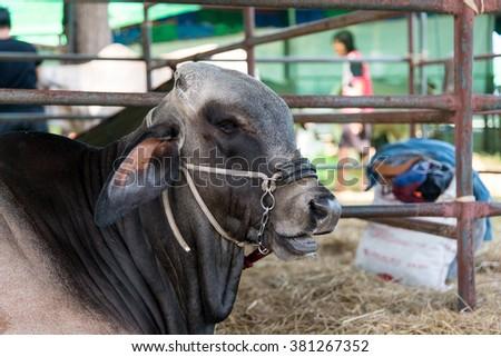 Closeup brahman cow in cage,eat,brown,white,black - stock photo