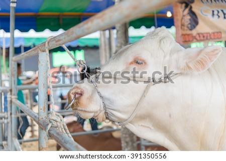 Closeup brahman cow in cage,white,korat,thailand - stock photo