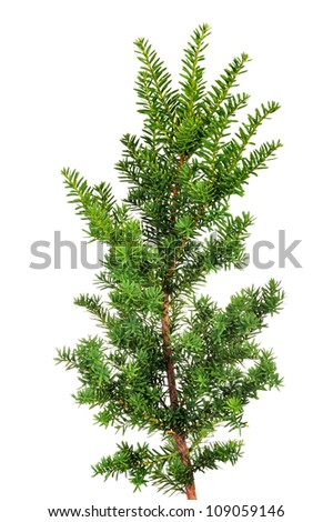 Closeup branch yew. Isolated on white.