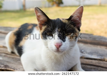 Closeup calico cat  laying on wood background. Cat look at to camera. Yellow eye. - stock photo
