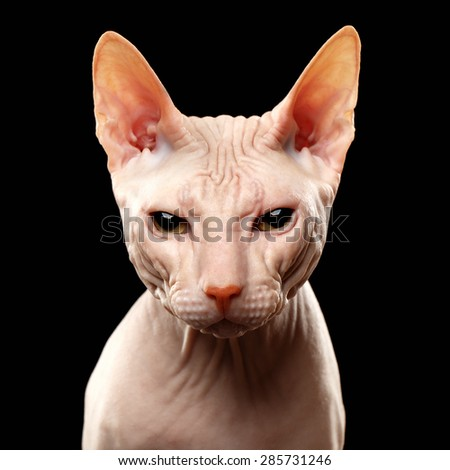 Closeup Cat of breed Sphynx Looking in camera Isolated on Black  - stock photo