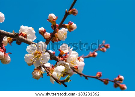 closeup cherry blossom on a blue sky background