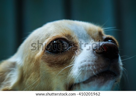 Closeup Chihuahua,Cute Chihuahua, Chihuahua, cute, pets, lovely pet,animals, dogs. - stock photo