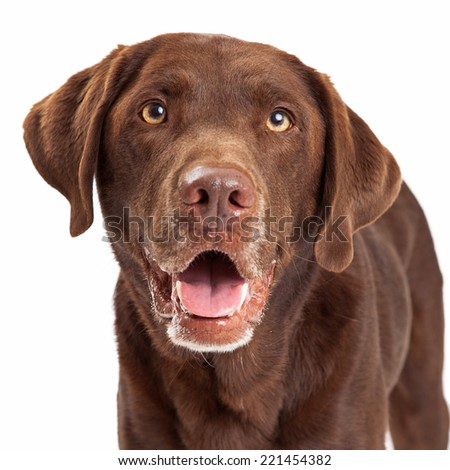 Closeup Chocolate Labrador Retriever dog head shot with happy expression and mouth open - stock photo