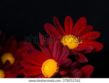 closeup composition of red velvet chrysanthemum flowers on black background, macro  - stock photo