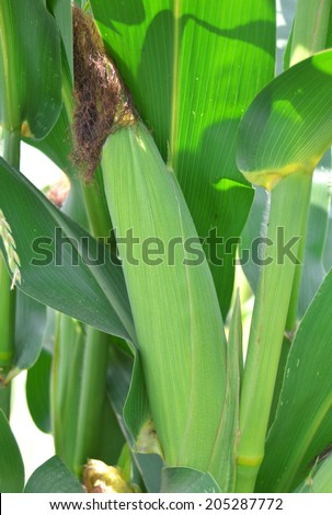 Closeup corn on the stalk in the corn field