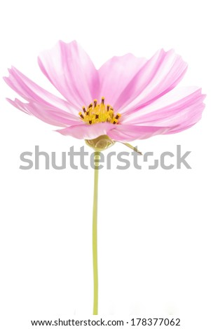 closeup cosmos flower on background