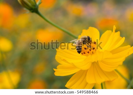 closeup cosmos flower with bee swarm in garden. pink yellow cosmos flower.