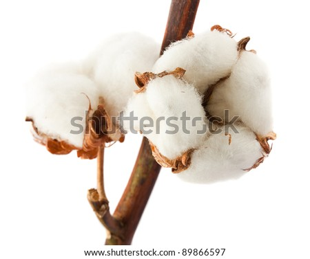 Closeup cotton bolls isolated on white background - stock photo