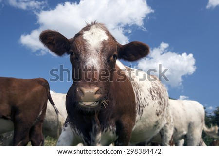 Closeup cow with grass in mouth - stock photo