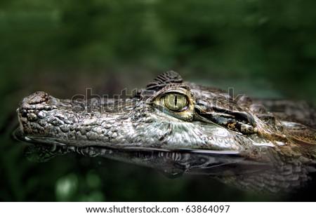 Closeup crocodile head swimming: closeup shot of the head of a crocodile swimming in dark greenish water. - stock photo