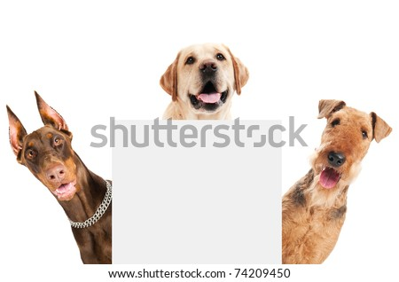 closeup curious heads of Airedale Terrier, labrador retriever and Doberman pinscher dogs isolated on white - stock photo