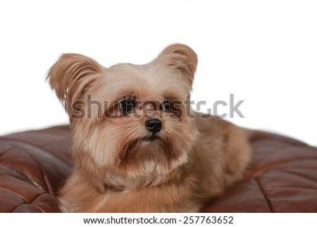 closeup cute mixed breed dog laying down in leather pad with white background - stock photo