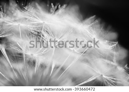 closeup dandelion. natural macro summer background with soft focus. black and white picture
