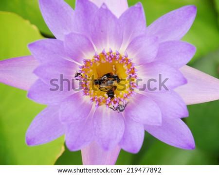 Closeup dead bees on purple lotus - stock photo