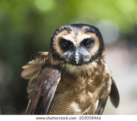Closeup detail of brown wood owl strix leptogrammica - stock photo