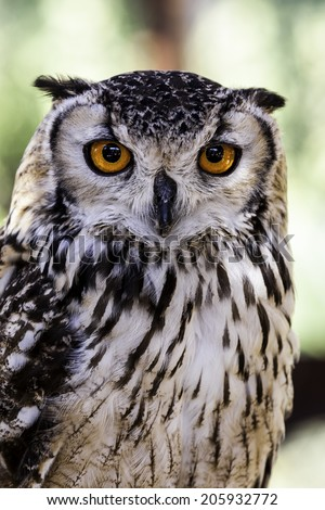closeup eagle owl is looking at you - focus on the eyes of the eagle owl - stock photo