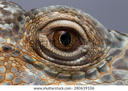 Closeup Eye of Green Iguana, Looks like a Dragon - stock photo