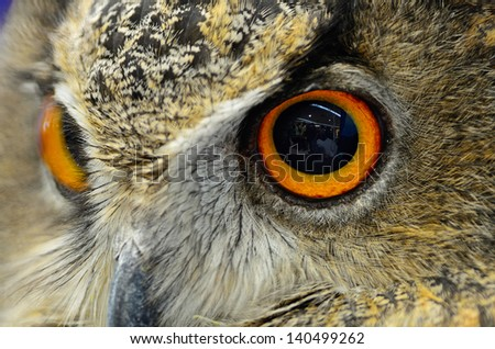 Closeup eyes of Eurasian Eagle Owl