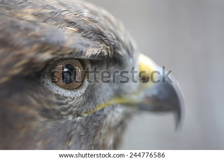 Closeup Eyes Of The Golden Eagle