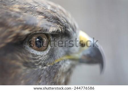 Closeup Eyes Of The Golden Eagle - stock photo