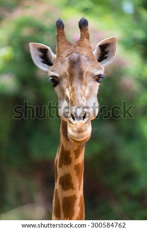 Closeup face giraffe  - stock photo