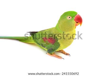 Closeup Female Alexandrine Parakeet bird isolated on white backgroud - stock photo