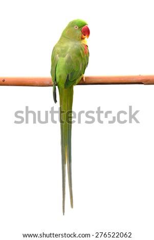 Closeup Female Alexandrine Parakeet, green parrot bird isolated on white backgroud - stock photo
