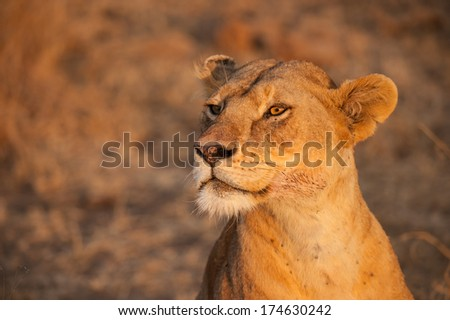 Closeup female lion in Serengeti National Park, the UNESCO World Heritage Site in Tanzania. - stock photo