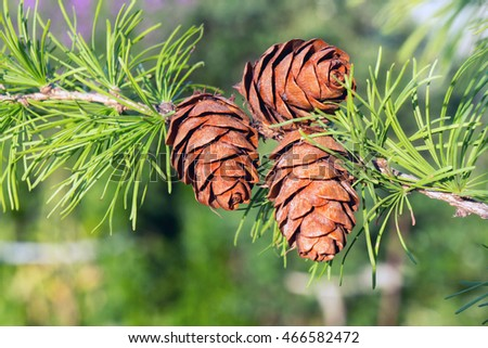 Closeup fir pine cones with green needles on a branch at sunlight.