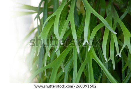 Closeup foliage Fronds of Platycerium fern. - stock photo
