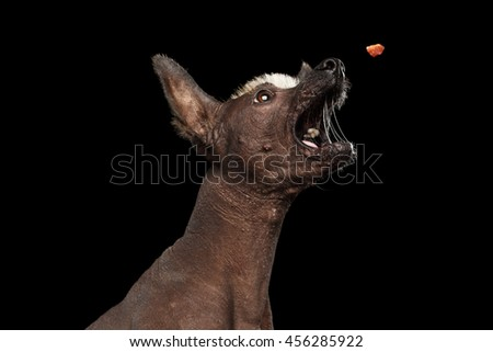Closeup Funny Xoloitzcuintle - hairless mexican dog breed open mouth with drool Catch treats, on Isolated Black background - stock photo