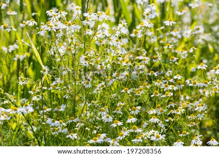 Closeup German chamomile or Matricaria chamomilla plants white and yellow flowering at the edge of a farm land in the Netherlands on a sunny afternoon in the spring season. - stock photo