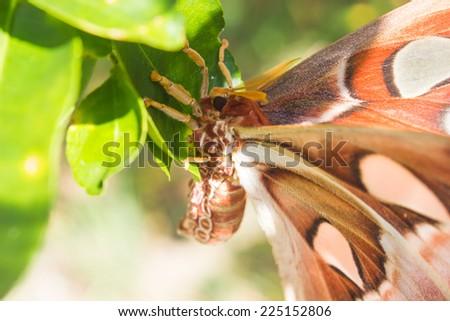 closeup Giant Atlas Moth night butterfly - stock photo