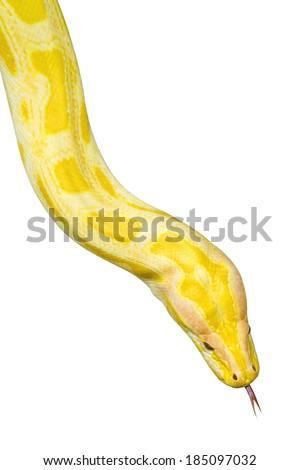 Closeup  Gold Python,Reticulated python (Python reticulatus) - stock photo